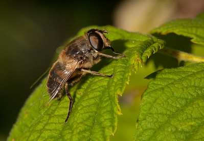 Male hoverfly on raspberry leaf.