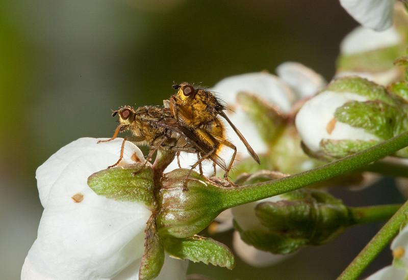 Flies producing more flies on sour cherry (prunus cerasus) flowers.
