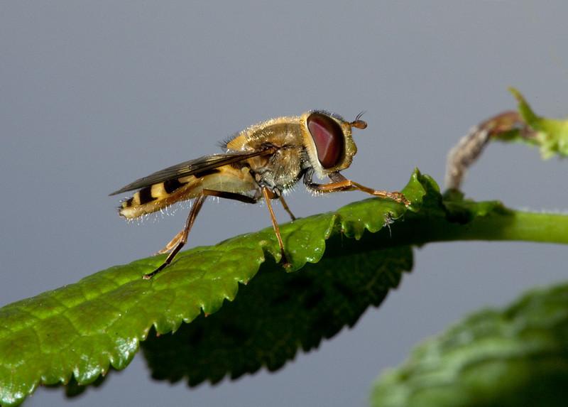 Female marmalade fly (episyrphus balteatus).