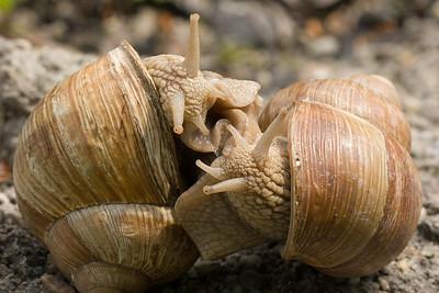 Mating burgundy snails (helix pomatia)