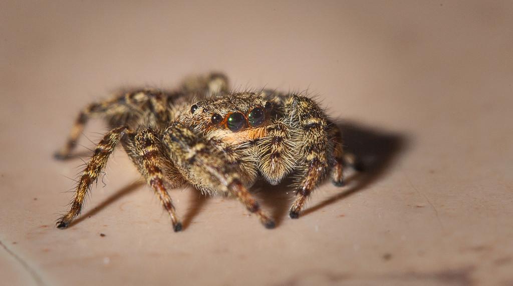 Fence post jumping spider (marpissa muscosa, fem.).