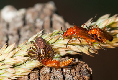 Spider killing a red soldier beetle (rhagonycha fulva) while another pair is mating.