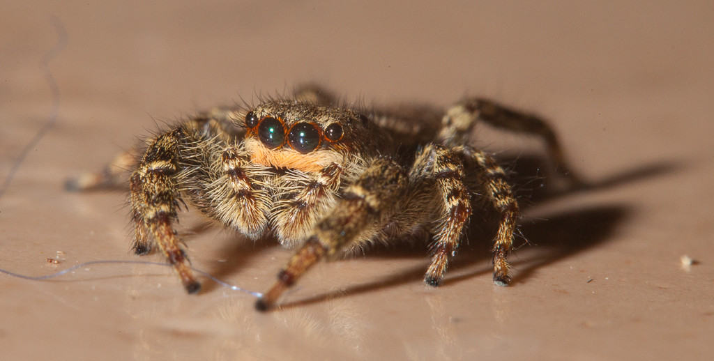 Fence post jumping spider (marpissa muscosa, fem.).