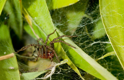 Spider at nest entrance. Mondo Verde, Landgraaf, Netherlands.