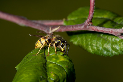 Wasp harvesting honeydew off a plum leaf.