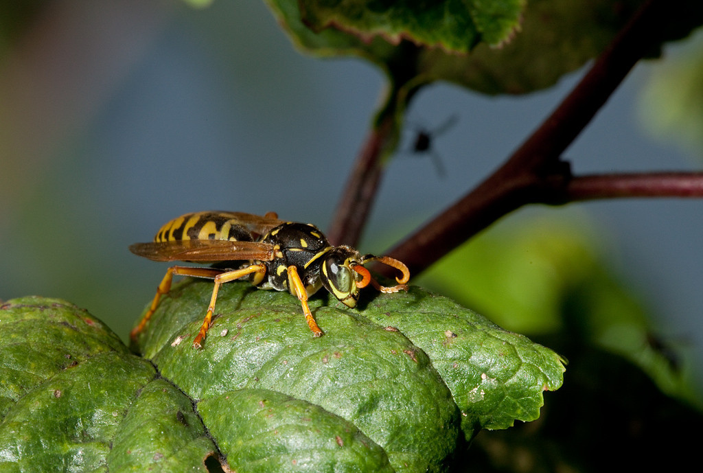 Male european paper wasp (polistes dominulus).