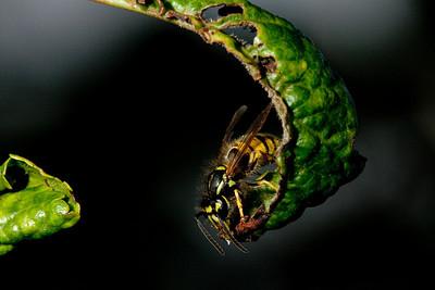 Wasp.