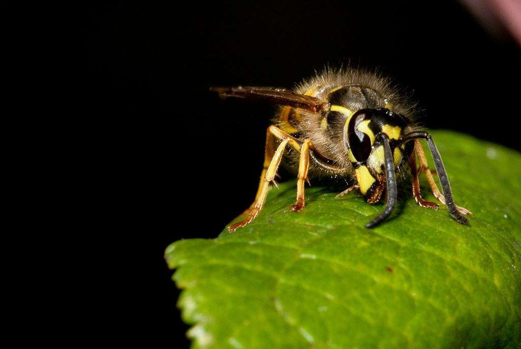 Wasp harvesting honeydew off a plum leaf.