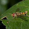 Male marmalade fly <i>(episyrphus balteatus)</i>.