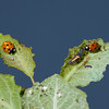 Two ladybugs and a larva.