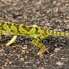 Chamaeleon. Kruger National Park, South Africa