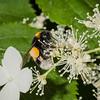 Bumblebee on hydrangea petiolaris.