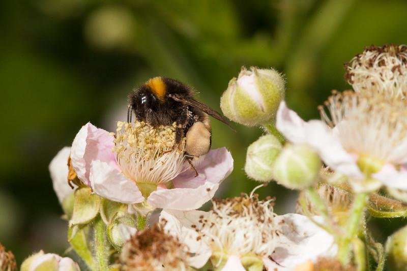 Bumblebee on blackberry flower.