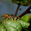 Male european paper wasp <i>(polistes dominulus)</i>.