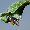 Wasp on leaf infested with aphids. The insect is harvesting their honeydew.