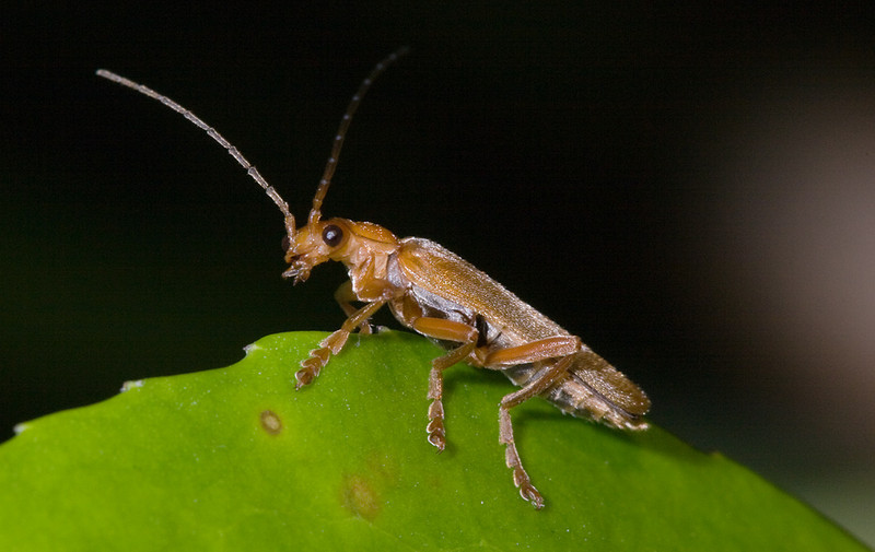 Soldier beetle <i>(cantharis fusca)</i> offspring.