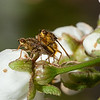 Flies producing more flies on sour cherry <i>(prunus cerasus)</i> flowers.