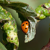 Ladybug laying eggs on a plum leaf.
