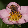 Male hoverfly on strawberry flower.