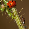 Ladybug, aphids, and an unidentified bug on a thistle.