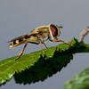 Female marmalade fly <i>(episyrphus balteatus)</i>.