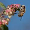 Hover fly on snowberry <i>(symphoricarpos chenaultii Hancock)</i> flower.