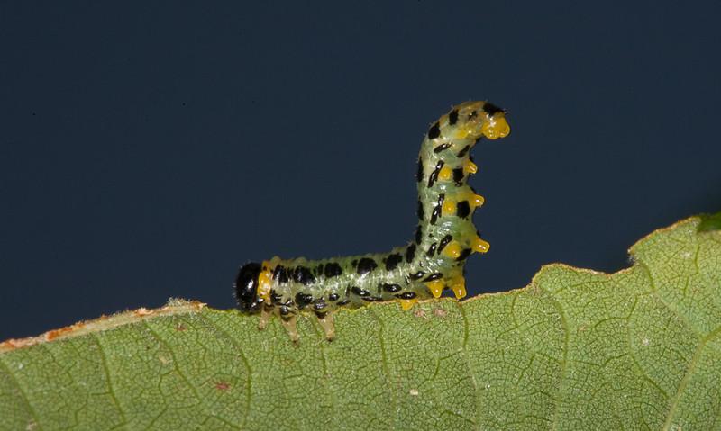 Larva of the hazel sawfly (craesus septentrionalis) in defensive position.