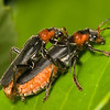 Mating soldier beetles <i>(cantharis fusca)</i>.