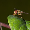 Male marmalade fly <i>(episyrphus balteatus)</i>.