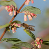 Solitary bee on snowberry <i>(symphoricarpos chenaultii Hancock)</i> flower.