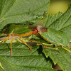 Green shield bug (palomena prasina).