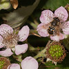 Hoverfly on blackberry flower.