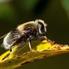Bumblebee hoverfly <i>(volucella bombylans)</i>.