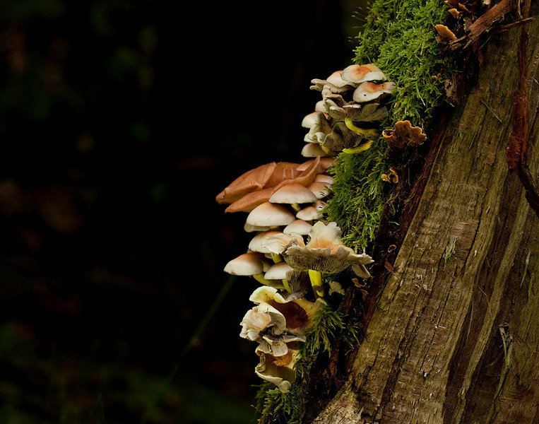 Mushrooms growing up a stump.