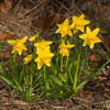 <i>Narcissus pseudonarcissus</i> are among the first flowers to appear in the spring. Here's a small stand in the garden.