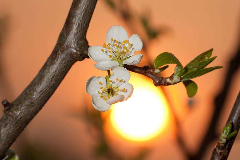 Flower of plum <i>(prunus domestica)</i> against the setting sun.