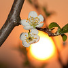 Flower of plum <i>(prunus domestica)</i> against the setting sun.