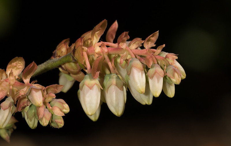 Blueberry buds (vaccinium myrtillus).