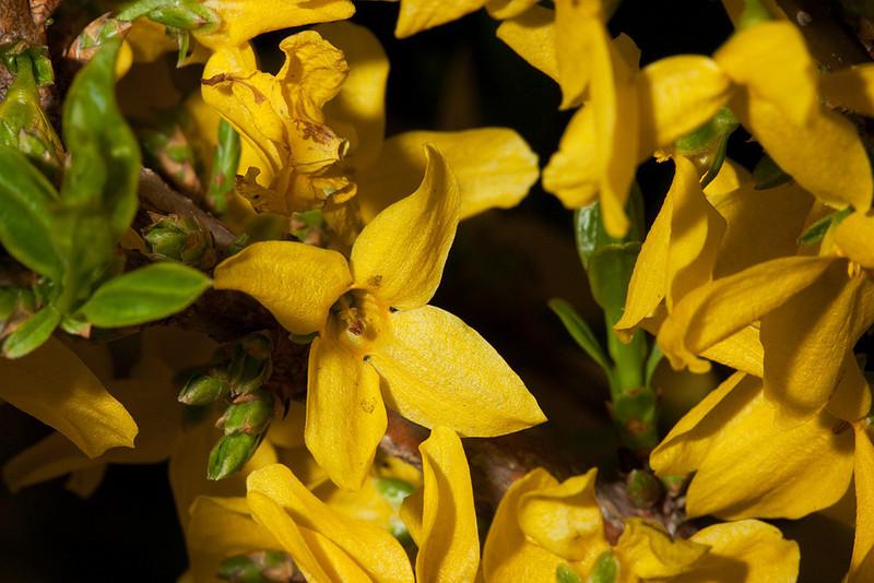 Forsythia <i>(Forsythia × intermedia)</i>.