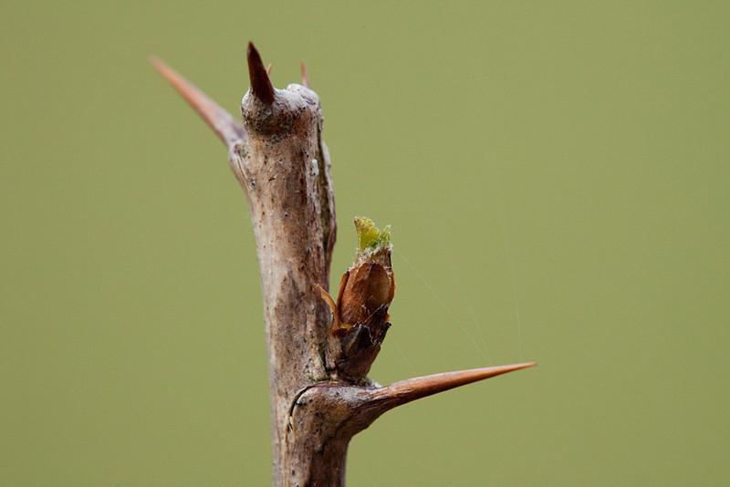 Bud of <i>ribes grossularia</i>.