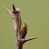 Bud of <i>ribes grossularia</i>.
