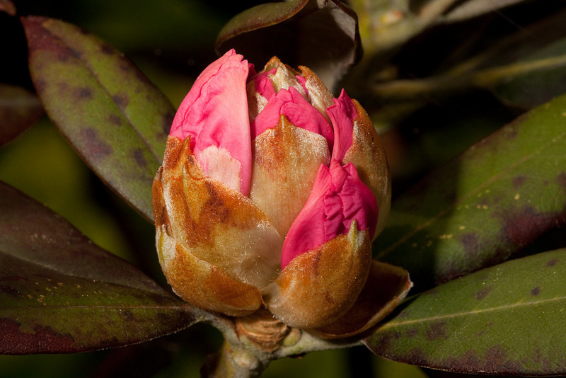 "Rhododendron buds. Each pink ""leaf"" is actually one flower."