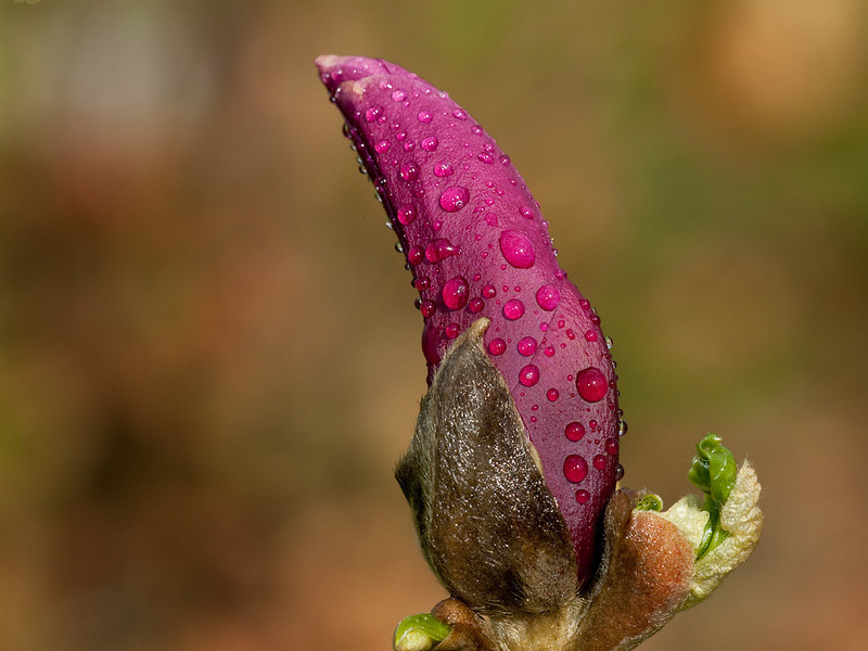 <i>Magnolia liliiflora</i> bud.