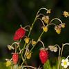 Woodland strawberries (fragaria vesca).