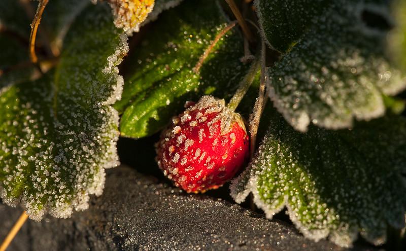 Frozen strawberry margarita.