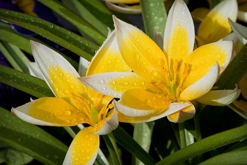 <i>Tulipa turkestanica</i>
