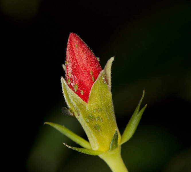 "Flower bud with aphids. Frontal ring flash and off-camera flash from lower left. <a href=""http://www.wereldtuinenmondoverde.nl/index.php?id=18"">Mondo Verde</a>, Landgraaf, Netherlands."