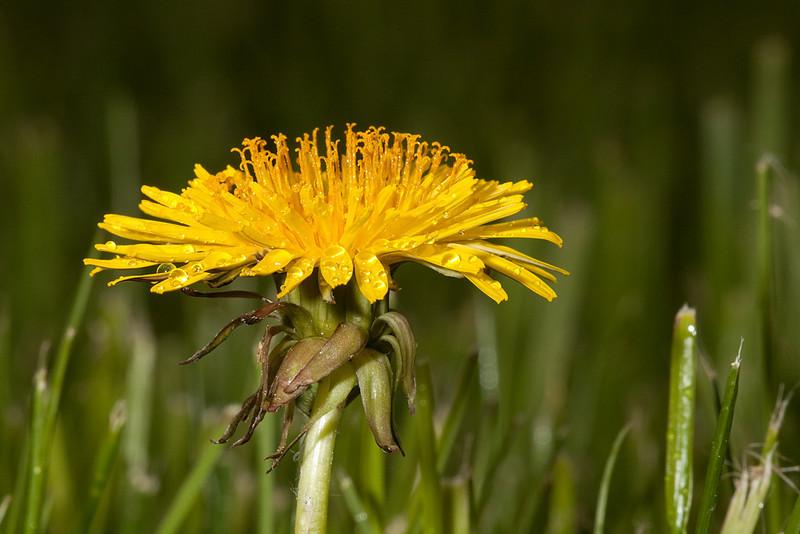 Dandelion flower <i>(taraxacum)</i>.
