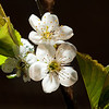 Sour cherry <i>(prunus cerasus)</i> flowers.