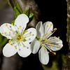 Flower of plum <i>(prunus domestica)</i>.